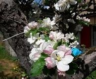 appelboom_in_bloei